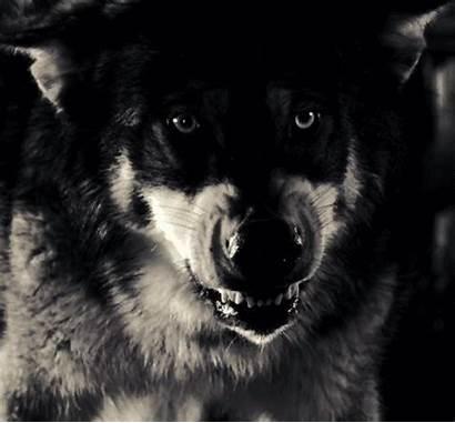 Wolf Husky Hoppip Darkness Film Creepy Favim