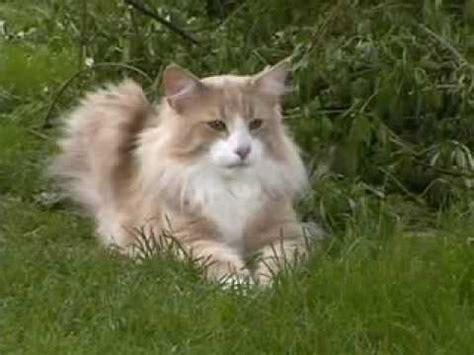 norwegische waldkatze beim baumabstieg youtube