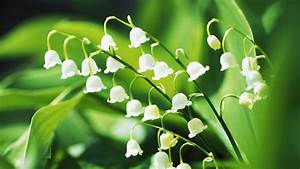 How To Grow A Lily Of The Valley