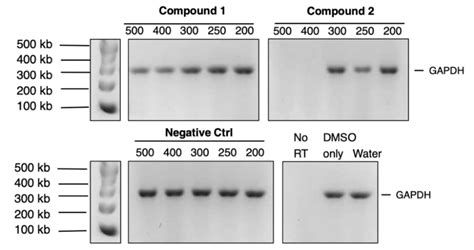 MMLV RT cDNA Synthesis PCR assays of the two compounds at ...
