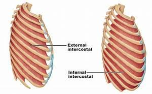 Interkostalmuskulatur  Mm  Intercostales