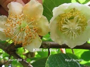 Tailler Les Kiwis : quand tailler des kiwis ~ Farleysfitness.com Idées de Décoration