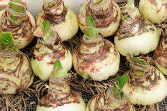 Zwiebel Schneiden Gerät : amaryllis zwiebeln lagern so bewahren sie sie auf ritterstern ~ Orissabook.com Haus und Dekorationen