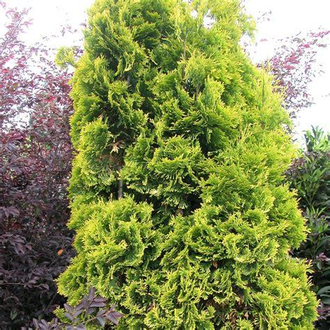 eastern arborvitae white cedar hgtv