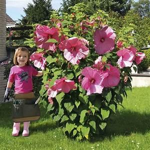 Große Pflanzkübel Winterhart : riesen stauden hibiskus 39 kopper king 39 online kaufen bei ~ Michelbontemps.com Haus und Dekorationen