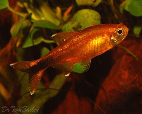 tetra  sale aquariumfishnet