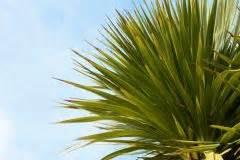 Kentia Palme Braune Blätter : palme bekommt braune flecken ursachen und ma nahmen ~ Watch28wear.com Haus und Dekorationen