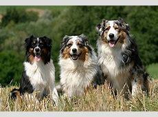 Mittelgroße Hunderassen – Viele Bilder Super Tipps!