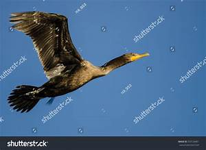 Double-Crested Cormorant Flying In A Blue Sky Stock Photo ...