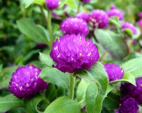 globe amaranth globe amaranth gomphrena globosa mosi outside