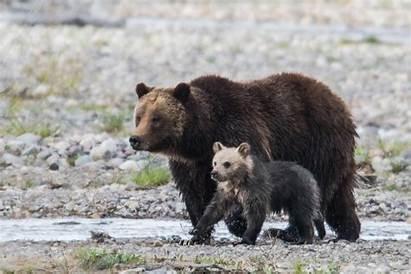 Bear Cub National Park 399 Grizzly Teton