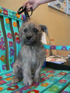Meet Chewy A Petfinder Adoptable Border Terrier Dog