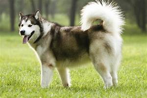 These 10 Dog Breeds Look So Much Like Wolves, Really!