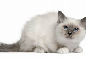 6 Cat Breeds With Blue Eyes | PawCulture