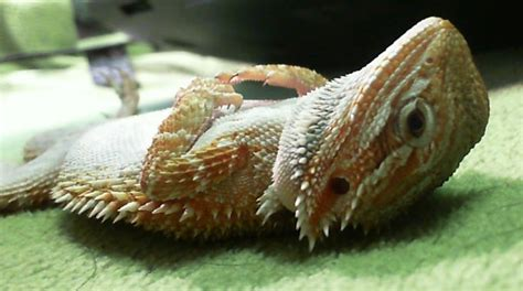 Types Of Bearded Dragon Morphs Pictures to Pin on