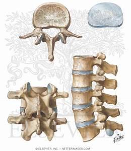 Lumbar Vertebrae and Intervertebral Disc Spine: Osteology