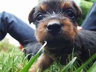 Yorkies Puppy Cute Yorkie Dogs