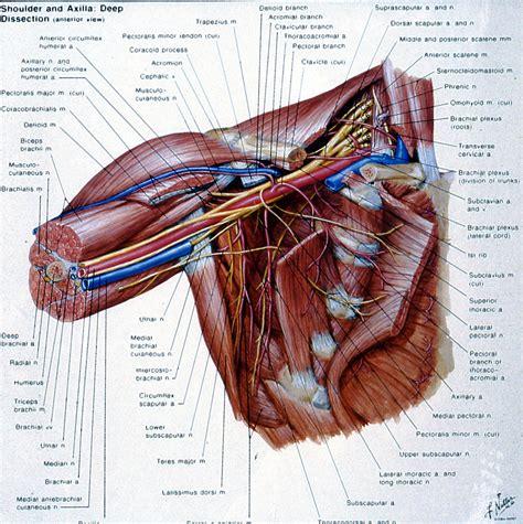 Human anatomy diagrams show internal. Stuart Kozinn, MD - Scottsdale Joint Center