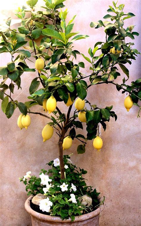 les 25 meilleures id 233 es concernant citronnier sur bouture citronnier citronnier