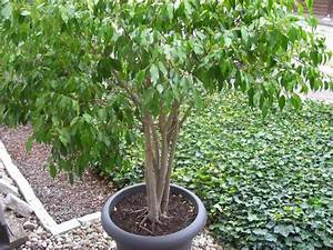 Ficus Benjamini Kaufen : ficus benjamini solit rpflanze in limburgerhof pflanzen kaufen und verkaufen ber private ~ A.2002-acura-tl-radio.info Haus und Dekorationen
