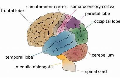 Brain Somatosensory System Lobes Excessive Sensory Leaves
