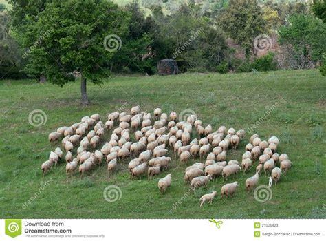 flock of sheep stock photos image 21006423