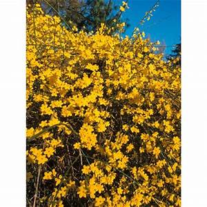 Kletterpflanzen Mehrjährig Winterhart : winter jasmin gelb von obi auf kaufen ~ Michelbontemps.com Haus und Dekorationen
