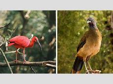 Trinidad and Tobago – National Birds – My Trini Chile
