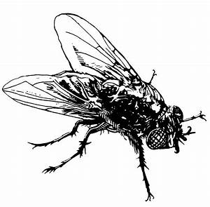 House Fly Drawing | www.imgkid.com - The Image Kid Has It!