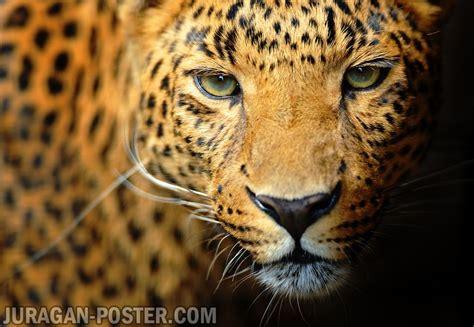 leopard jual poster  juragan poster