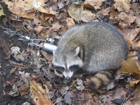 How To Catch A Raccoon In My Backyard by Raccoon Trap For Deer Feeder C Lodge Yard Whitetail Ebay