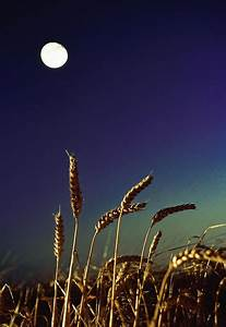 Wheat Field At Night Under The Moon Photograph by The ...