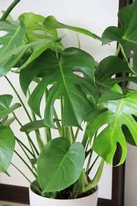 Pflanzen Schneiden Kalender : philodendron pflanzen die auch schattige ecken gerne m gen pflanzen pinterest ~ Orissabook.com Haus und Dekorationen