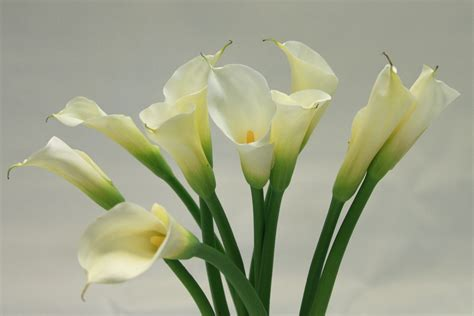 white calla flower beautiful white calla lilies flowers picture photo image free download wallsev com download