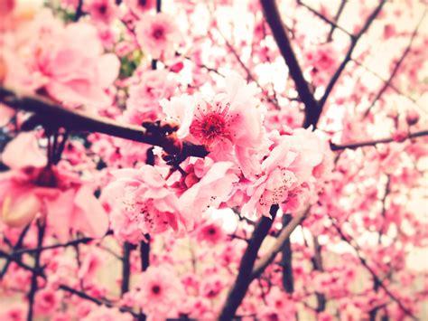 pink flowers tumblr  desktop background