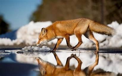 Wallpapers Foxes Fox Arctic Cool Mac Getjar