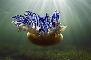 Upside-down Jellyfish Cassiopea Sp Photograph by Pete Oxford