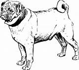 Coloring Pug Drawing Awesome Outline Silhouette Vector Print Pages Drawings Getdrawings Colorluna sketch template