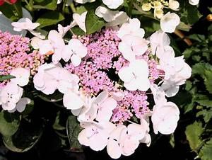 Hydrangea Macrophylla Winterhart : tellerhortensie 39 lanarth white 39 hydrangea macrophylla ~ Michelbontemps.com Haus und Dekorationen