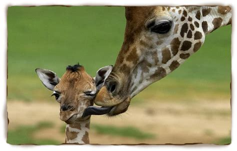 A Giraffes Life  Giraffe Facts For Kids