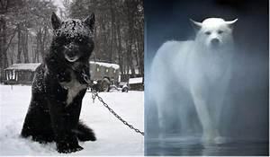 Get a pair of Black and white Wolf hybrids | To Do List ...