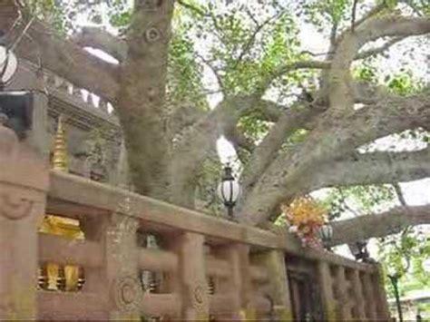 where can i buy a bodhi tree walking around the bodhi tree buddha youtube