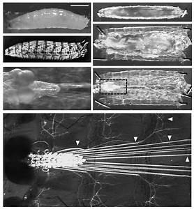Anatomy Of Drosophila Larvae  3 Rd Instar    A  A Lateral