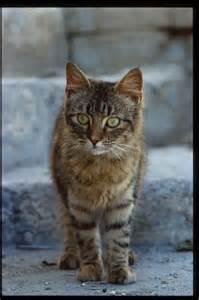 photos of cats maltese cats