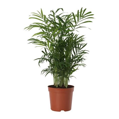 sofas for small living room chamaedorea elegans potted plant parlour palm 9 cm ikea