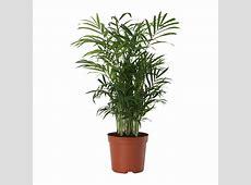 CHAMAEDOREA ELEGANS Potted plant Parlour palm 9 cm IKEA