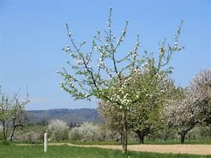 Apfelbaum Hochstamm Kaufen : santana apfel kaufen herbstapfel 39 santana 39 malus 39 santana 39 baumschule horstmann ~ Orissabook.com Haus und Dekorationen