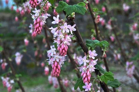 flowering shrubs pacific northwest flowering currants t is the season hyland garden design