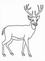 Deer Coloring Pages Animal Education Printable Dear Outline Deers Tailed Wildlife Outlines sketch template