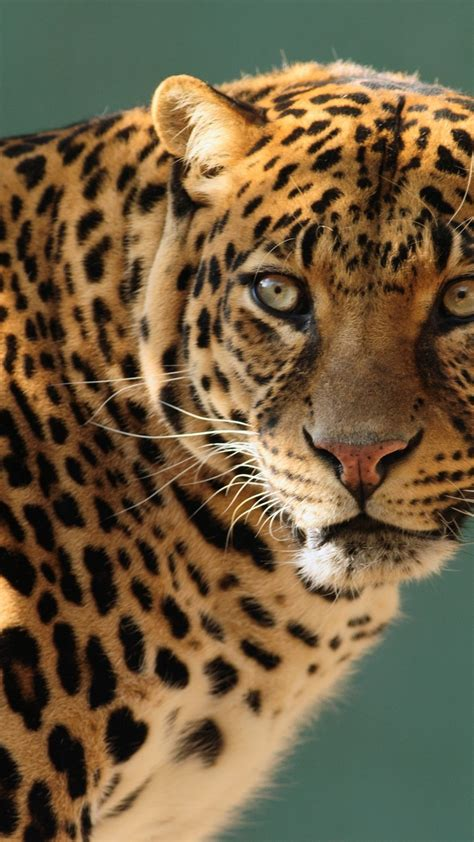 wallpaper jaguar wild cat face animals